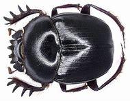 Scarab Beetle Art