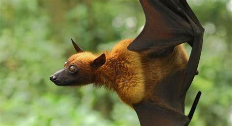 volpe volante australia l invasione dei pipistrelli un intera