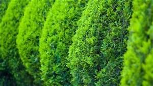 Immergrüne Pflanzen Sichtschutz : sichtschutz aktuelle news infos ~ Michelbontemps.com Haus und Dekorationen