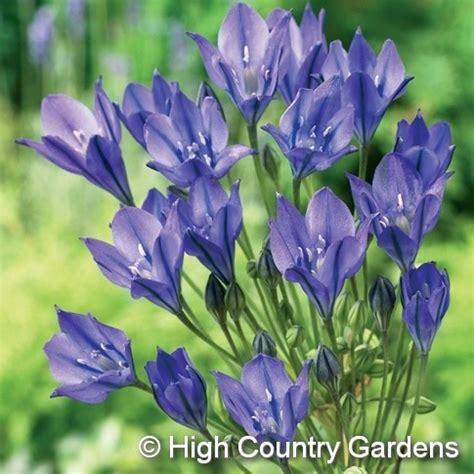 brodiaea triteleia 18 24 early summer blooming a