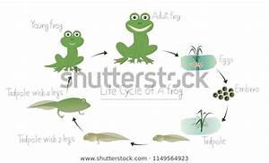 Life Cycle Frog Vector Illustration Stock Vector  Royalty