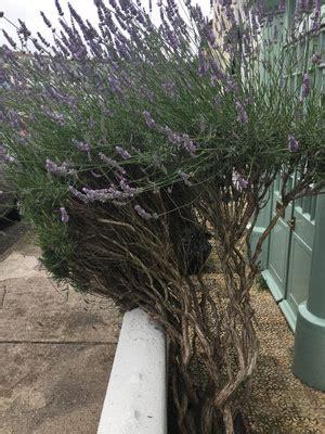Lavendel Pflege Urlaubsflair Im Garten by Pflege Lavendel Balkon Richtige Lavendel Pflege Balkon