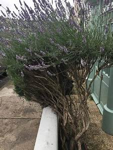 Lavendel Pflanzen Balkon : lavendel im garten pflanzen schneiden und berwintern ~ Lizthompson.info Haus und Dekorationen