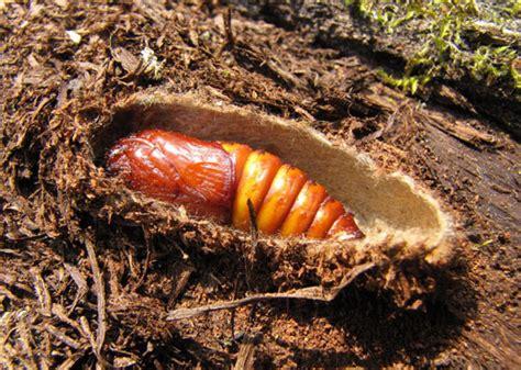 cossus cossus catalogue   lepidoptera  belgium