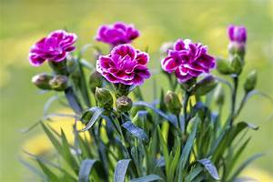 Growing And Caring For Miniature Potted Carnations