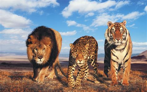 tiger wallpaper   gamefree  game