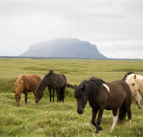 icelandic horse horses ponies pony iceland things wikimedia know wikipedia herd landscape file flying breed pace quine thomas source ihearthorses