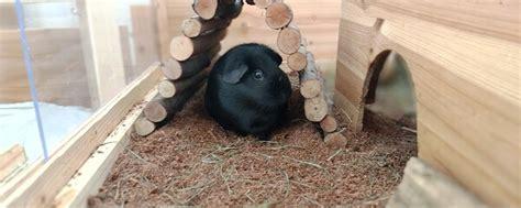 kokoseinstreu fuer meerschweinchen im test meerschwein sein