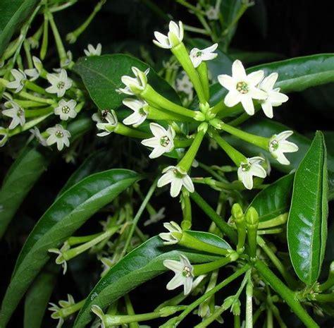 gelsomino coltivazione in vaso coltivare gelsomino ricanti gelsomino coltivazione