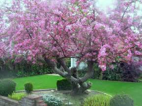 Japanese Flowering Crabapple Tree