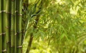 Prix Pour Tailler Une Haie : prix et plantation d 39 une haie de bambous ~ Dailycaller-alerts.com Idées de Décoration