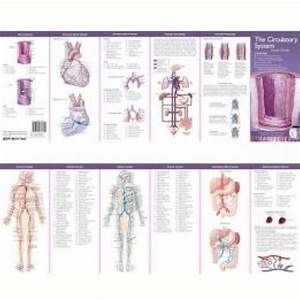 The Circulatory System Study Guide Anatomical Chart