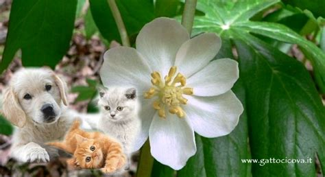 alimentazione per dissenteria podophyllum nel e gatto dissenteria e sindrome