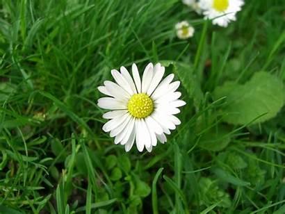 Daisy Flower Desktop Wallpapers Tablet Resolution