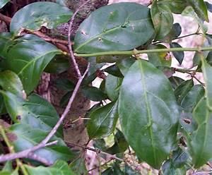 Morinda jasminoides - Sweet Morinda Morinda