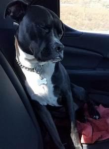 Adopted - Carter - 3 YO Black Boxer Pitbull Mix Dog ...