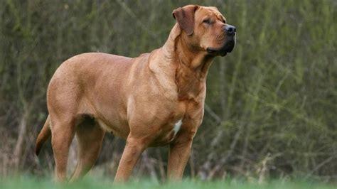 perros peligrosos las  razas consideradas peligrosas en