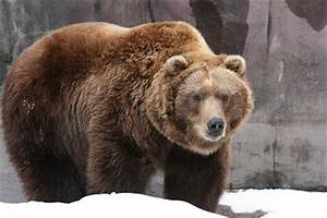 Grizzly Bear Basic Facts And New Pictures | The Wildlife  Grizzly
