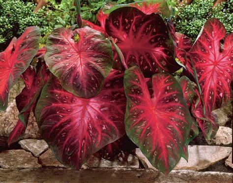 caladium red flash bulbs thrives  heat  humidity