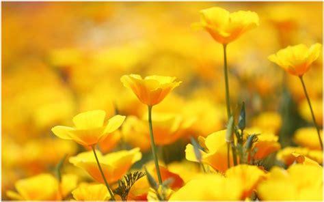 beautiful yellow flowers wallpaper beautiful yellow