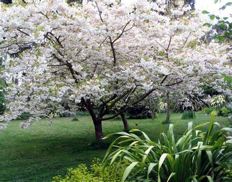 white flowering cherry tree varieties a successful gardener