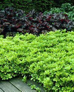 Immergrüne Kletterpflanze Winterhart : pfennigkraut rankend winterhart schattenvertr glich immergr n blumen ~ Yasmunasinghe.com Haus und Dekorationen