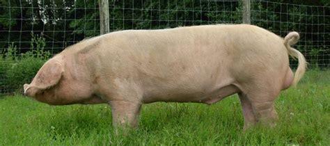 cuisine premier porc blanc de l 39 ouest
