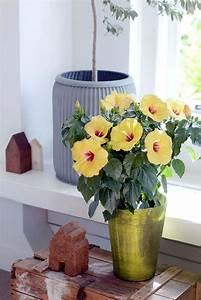 Comment Reconnaitre Un Hibiscus D Intérieur Ou D Extérieur : entretien hibiscus conseils et astuces pour des plantes ~ Dallasstarsshop.com Idées de Décoration