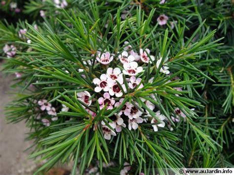 cuisiner maison fleur de cire de geraldton wax chamelaucium uncinatum