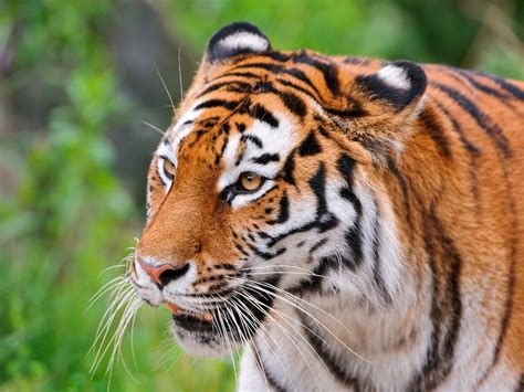 Tiger Photo by Tiger Tigers Photo 30651639 Fanpop
