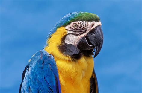 Blue And Gold Macaw Bird Species Profile