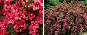 Weigela Bristol Ruby : weigela hedging plants weigela rosea more ~ Michelbontemps.com Haus und Dekorationen