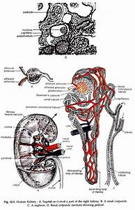 Human Excretory System  With Diagram