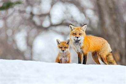 Fox Winter Snow Foxes Cubs Background Cub
