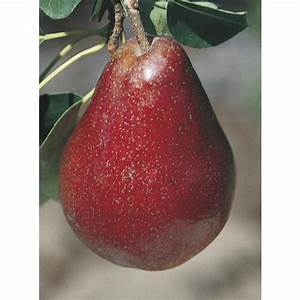 Shop 3 84-Gallon Red Bartlett Pear Tree (L11881) at Lowes com