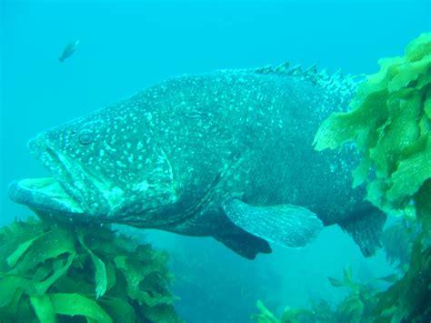 queensland grouper groupers goliath australia aquarium looks abroad bigger feed than would
