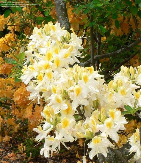 northern lights azalea plantfiles pictures rhododendron azalea northern hi