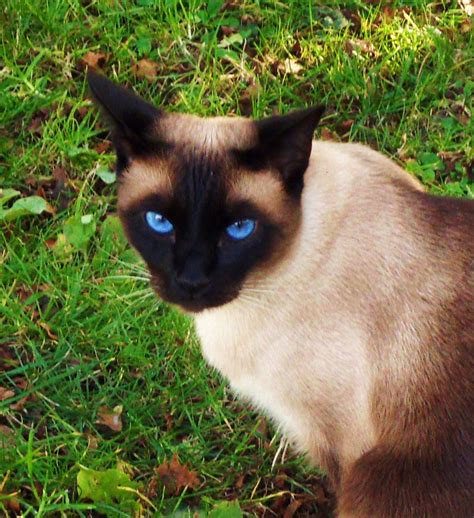 What You Need To Know About Owning A Siamese Cat Sopurrfect