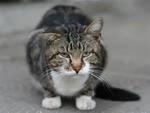 tabby cat personality and behavior loyfly