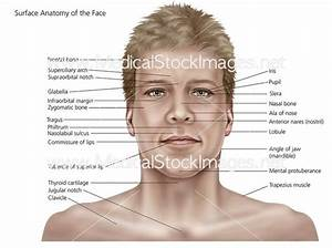 Surface Anatomy of the Face and Skin – Medical Stock ...