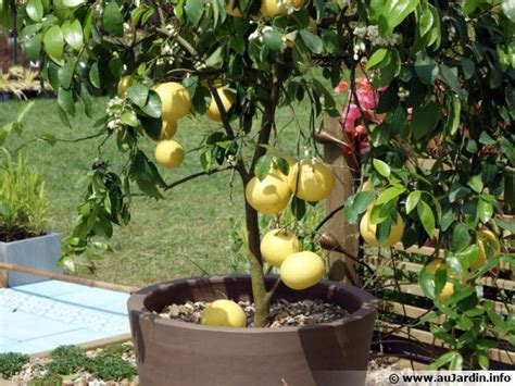 entretien agrumes en pot la culture des agrumes en pot