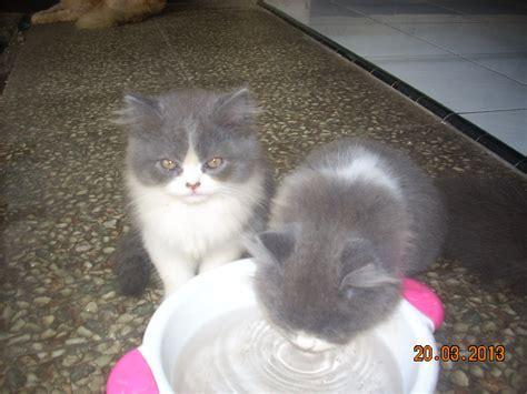 anak kucing persia lucu anakan kucing persia lucu
