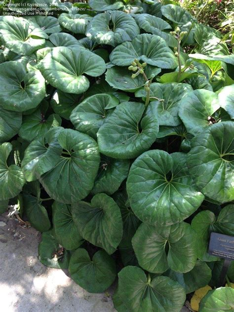 giant leopard plant cold hardy  zone   drought