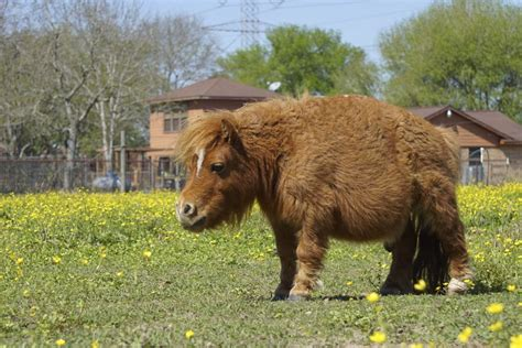 horse pony tiny smallest adorable inches habitat tall horses caters stands footage
