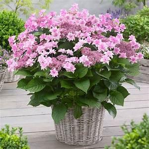 Sind Hortensien Winterhart : hortensie 39 doppio rosa 39 online kaufen bei ahrens sieberz ~ Orissabook.com Haus und Dekorationen