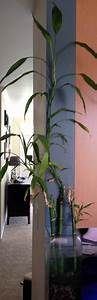Should I re-plant my unbalanced indoor lucky bamboo plant ...