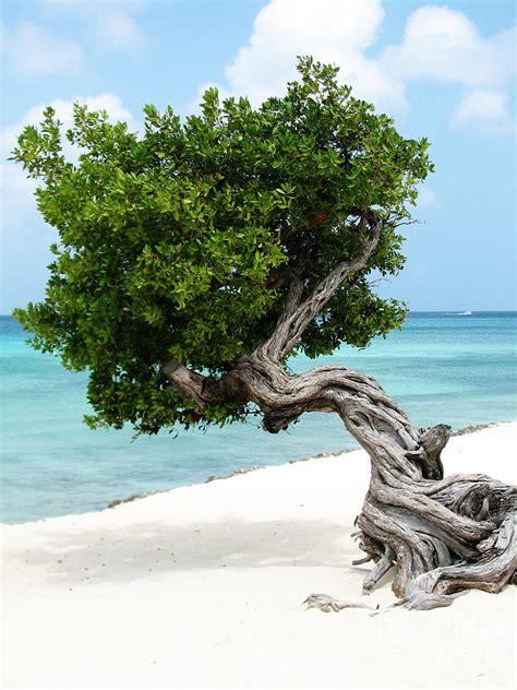 Divi Divi Tree in Aruba Photograph by DejaVu Designs