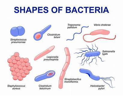 Bacteria Shapes Common Reproduce Human Infecting Bakterium