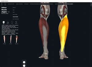 Muscles  Soleus   U2013 Anatomy  U0026 Physiology