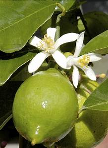 Wie Lagert Man Zitronen : ligurien das land wo die zitronen bl hen bamberger onlinezeitung ~ Buech-reservation.com Haus und Dekorationen